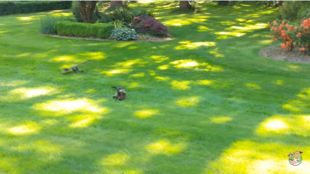 Con chim cú bất ngờ xuất hiện và cắp con mồi ngay trước mũi mèo.