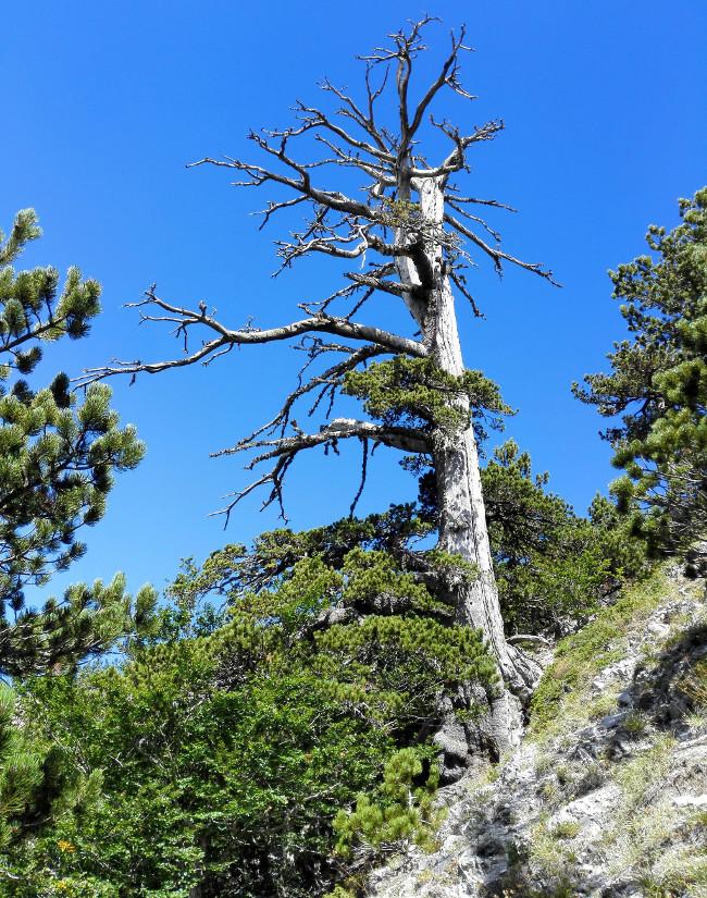 Cây thông Italus trong công viên Pollino có tuổi thọ 1.230 năm.