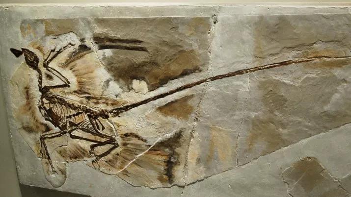 Hóa thạch microraptor được tìm thấy ở tỉnh Liêu Ninh, Trung Quốc, năm 2005.