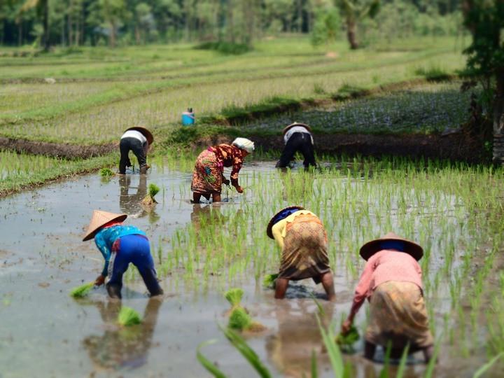 Nồng độ CO2 tăng, ảnh hưởng tới lúa gạo và các chất dinh dưỡng trong gạo.