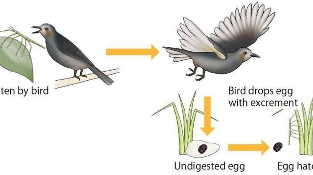 Trứng bọ gậy trong phân của chim chào mào và bọ gậy chui ra từ trứng