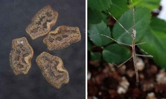 Cơ chế lợi dụng kẻ thù để mở rộng môi trường sống của bọ que