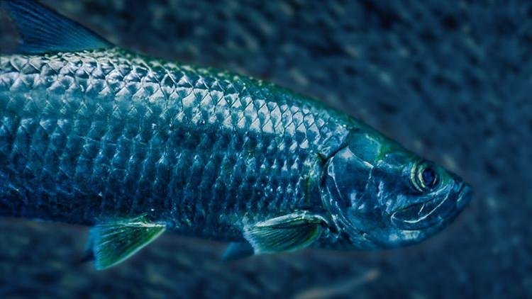 Cá tarpon được phân biệt bởi những vảy màu bạc bao phủ toàn bộ cơ thể cá ngoại trừ đầu.