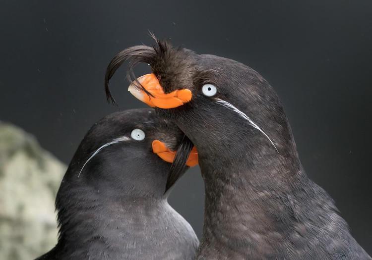 Chim aukets