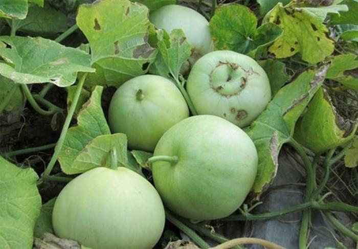 Việc ăn dưa bị ngộ độc không phải mọi trường hợp đều do thuốc trừ sâu gây ra.