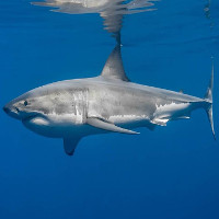 Nghiên cứu mới: Các chuyên gia bất ngờ thu được trải nghiệm bị cá mập trắng ăn