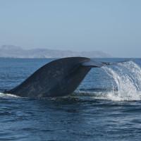 Cá voi xanh lần đầu tiên được phát hiện tại Biển Đỏ
