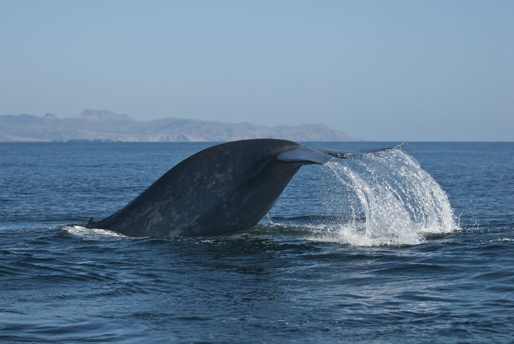 Cá voi xanh xuất hiện ở Biển Đỏ
