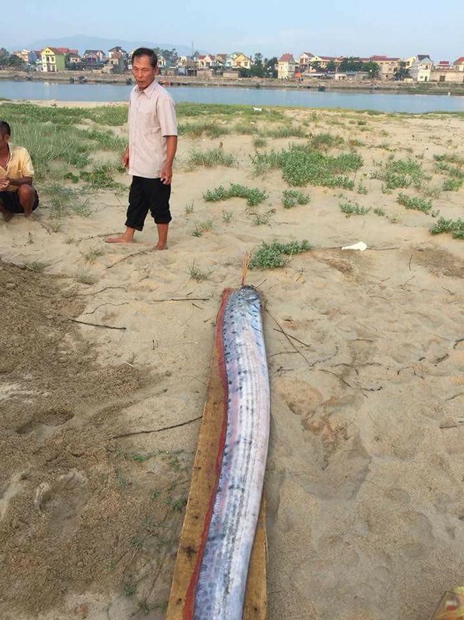 Liên tục mấy ngày nay xác cá mái chèo liên tục dạt vào bờ biển Quảng Bình - Hà Tĩnh.