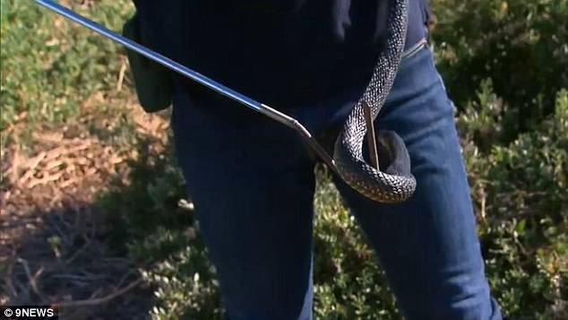Rắn hổ là loài rắn độc thứ 5 trên thế giới.