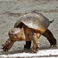 """Kỳ dị loài rùa bị đứt đầu vẫn sống """"nhăn răng""""..."""