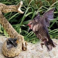 Video: Chim mẹ điên cuồng tấn công rắn kịch độc, trả thù cho con