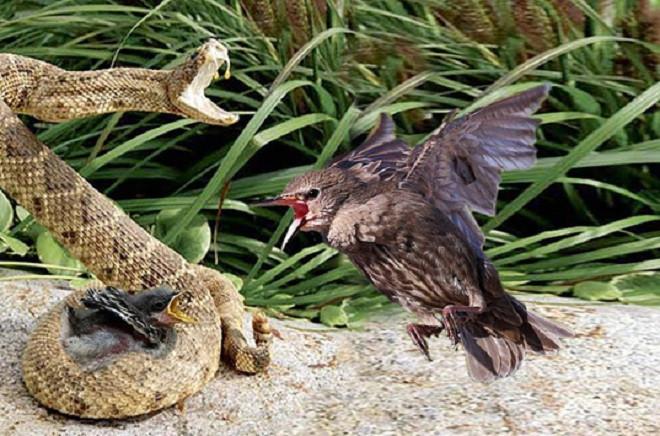 Chim mẹ bất lực khi thấy con bị rắn kịch độc ăn thịt.