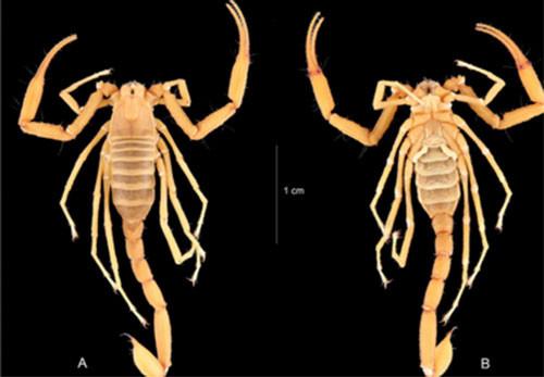 Trong ảnh là bọ cạp Vietbocap aurantiacus sp.nov