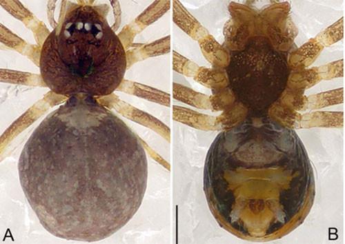 Nhện Pinelema laensis sp.nov. ở hang La, Vườn quốc gia Xuân Sơn, tỉnh Phú Thọ.