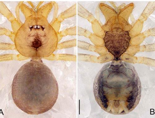 Loài nhện Pinelema tamdaoensis sp.nov. ở Vườn quốc gia Tam Đảo, tỉnh Vĩnh Phúc.