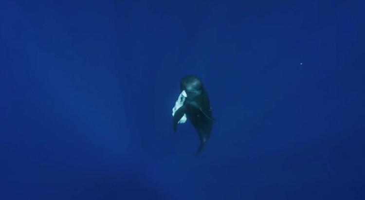 Cá voi ngậm xác con
