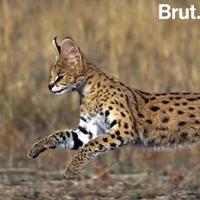 Loài mèo chạy nhanh chỉ sau báo cheetah