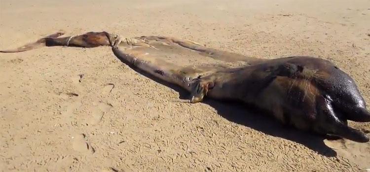 Nhóm nghiên cứu tin rằng sinh vật này là cá voi mõm khoằm Cuvier.