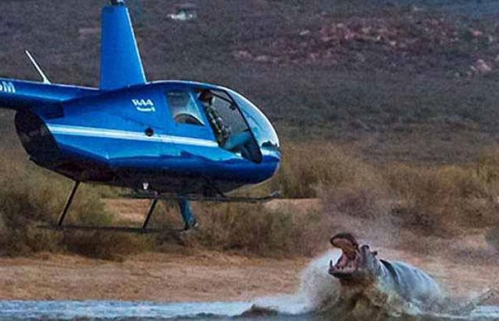 Con hà mã hung dữ tấn công trực thăng bay trên mặt nước.