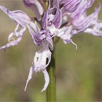 Loài hoa lan kỳ lạ, chỉ nhìn thôi cũng ngượng chín mặt