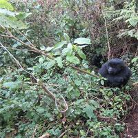 Khỉ đột trẻ hợp sức phá bẫy thợ săn