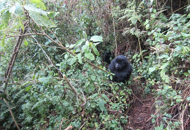 Hai chú khỉ đột trẻ ở Rwanda được ghi nhận đang phá bẫy của bọn săn trộm