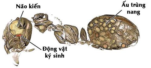 Kiến nhiễm sán lá gan lancet sẽ tự sát.