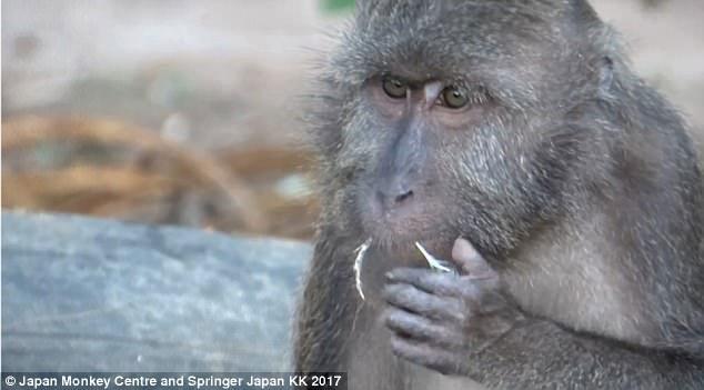 Khỉ Nicobar có khả năng thích nghi rất tốt với cảnh quan của con người.