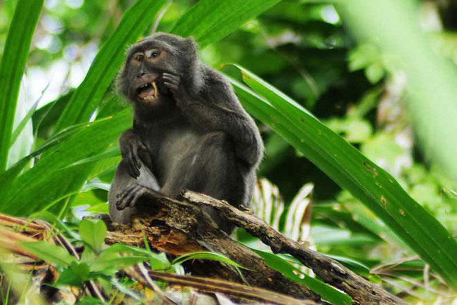 Khỉ đuôi dài Nicobar.