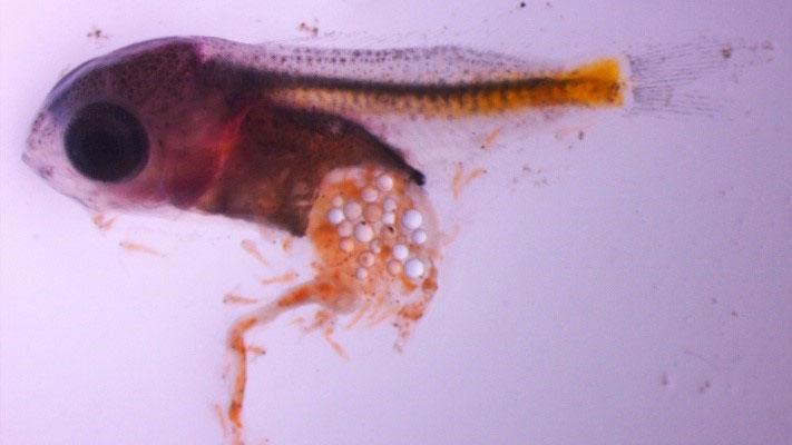 Phù du có chứa hạt vi nhựa, rồi đi vào trong cơ thể sinh vật biển.