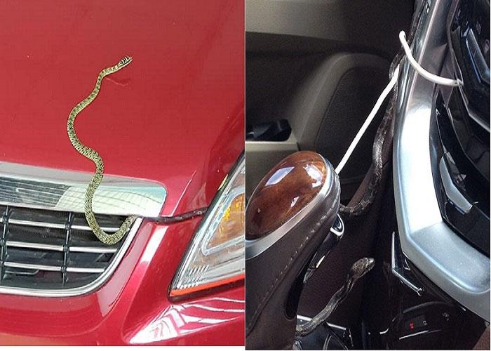 Rắn thường chui vào ô tô để tránh nóng.