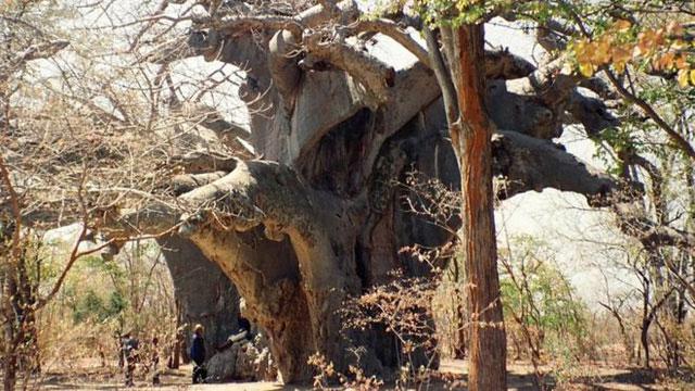 Panke, cây bao báp lâu đời nhất ở châu Phi hiện đã chết