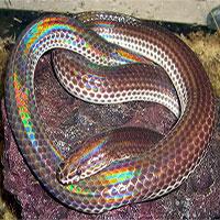 Loài rắn phát ra màu sắc óng ánh dưới ánh nắng, có nhiều ở Việt Nam