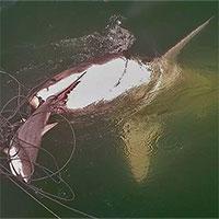 Cá mập trắng ăn thịt đồng loại trước mũi tàu