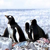 Tưởng rằng chim cánh cụt đang sống trên đảo rác, nhưng sự thật còn khủng khiếp hơn nhiều