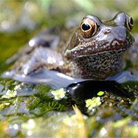 """Loài ếch sẽ tuyệt chủng vì bị thuốc trừ sâu làm """"chuyển giới""""?"""