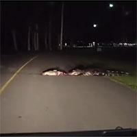 Cá sấu ba mét kéo lê xác con mồi trên đường cao tốc