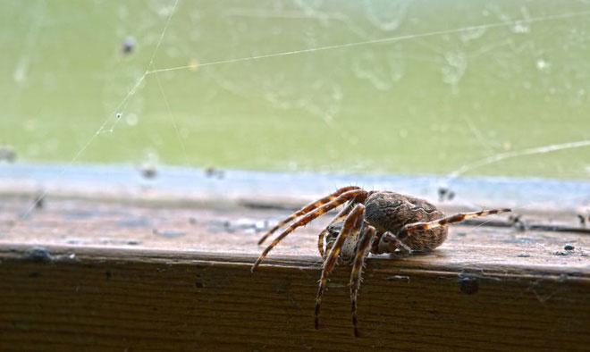Nhện giúp chúng ta diệt sâu bệnh, thậm chí chúng còn ăn những loài nhện khác.