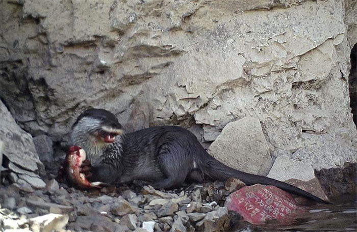 Trong lúc ăn, rái cá lộ rõ dáng vẻ hung hãn, khát máu của mình.