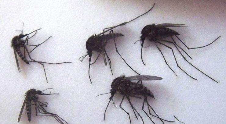 Muỗi khổng lồ Bắc Cực có kích thước lớn hơn nhiều so với muỗi thông thường.