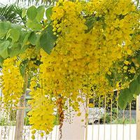 Hoa muồng hoàng hậu đẹp, đang nở rộ ở Hà Nội có gì thú vị?