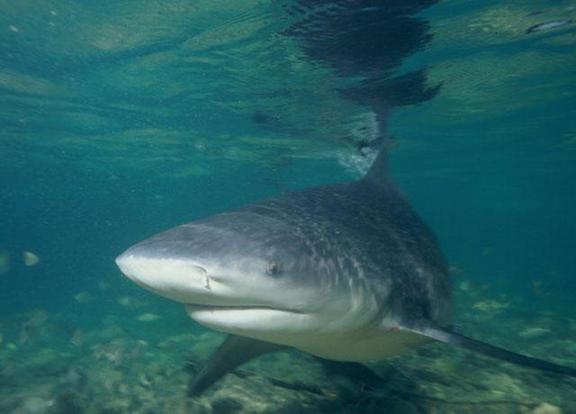 Cá mập bò mắt trắng