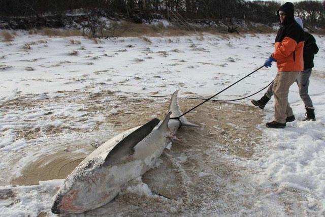 Một con cá mập bị đóng băng ở bờ biển Cape Cod, Boston, Mỹ.