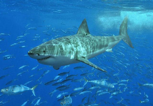 Đừng quên là cá mập trắng - sát thủ đại dương - cũng luôn tuần hành ở bờ biển nước Úc...