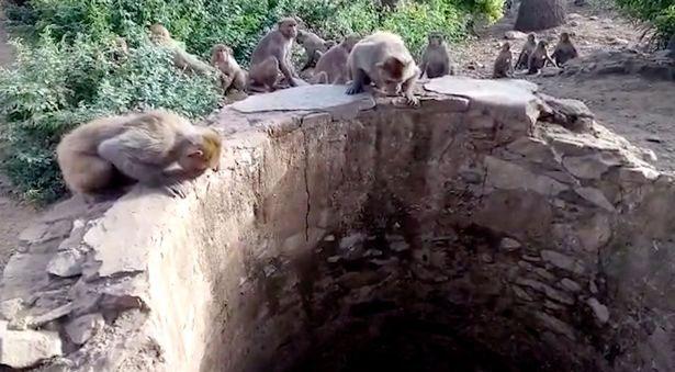 Đàn khỉ liên tục tạo tiếng động và nhảy lên trên thành giếng ở Rajasthan.