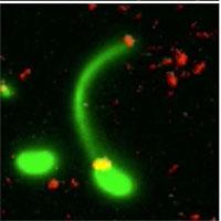 Cảnh vi khuẩn ăn DNA để có thể tiến hóa thành chủng kháng kháng sinh