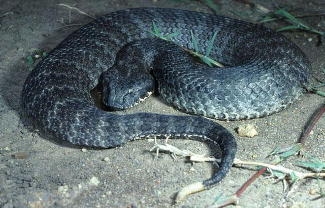 Đã từng có thời hơn 60% những ca bị rắn cắn tại Úc đều có chung kết quả là tử vong.
