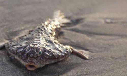 Cá dơi đuôi dài dùng vây ngực để bò dưới đáy đại dương.