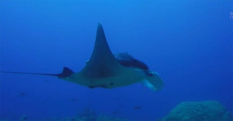 Cá đuối manta con chiếm khoảng 95% số cá đuối manta ở Khu bảo tồn Flower Garden Banks.